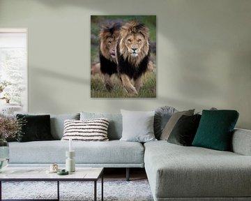 Deze twee leeuwen broers hebben duidelijk iets in het zicht van Patrick van Bakkum
