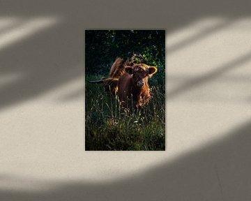 Schottisches Highlander-Kalb von Thom Brouwer