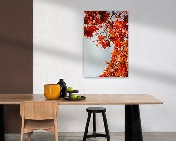 Ahorn in Herbstfarben 6910082140 Fotograf Fred Roest von Fred Roest