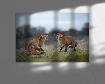 Rotfuchs ( Vulpes vulpes ), zwei Füchse im Streit, drohen einander mit aufgerissenem Fang, wildlife, von wunderbare Erde