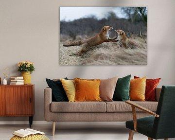 Füchse ( Vulpes vulpes ),  im Kampf, Streit,  Auseinandersetzung zwischen zwei Rotfüchsen, wildlife, von wunderbare Erde