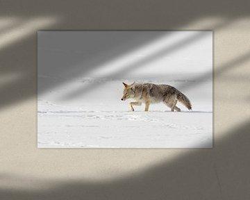 Kojote ( Canis latrans ) stapft durch tiefen Schnee, Yellowstone NP, Wyoming, USA. von wunderbare Erde