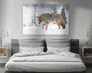 Kojote ( Canis latrans ), im Winter bei heftigem Schneefall , wildlife, Yellowstone NP,  USA. von wunderbare Erde