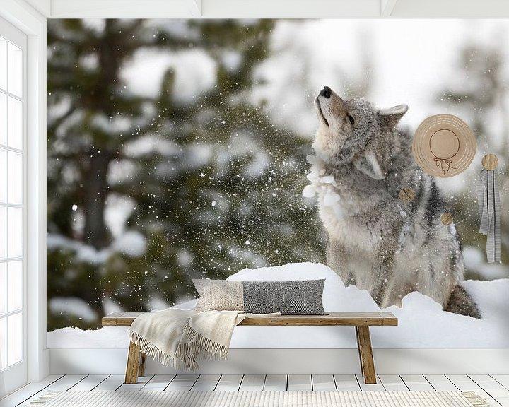 Beispiel fototapete: Kojote ( Canis latrans ), schüttelt sich Schnee und Eis aus dem Fell, wildlife, Yellowstone NP, USA. von wunderbare Erde