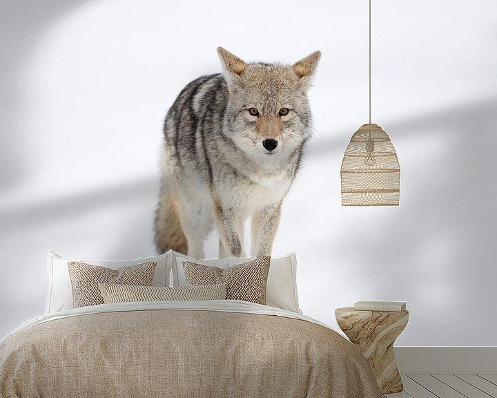 Beispiel fototapete: Kojote ( Canis latrans ), läuft geradewegs auf den Fotografen zu, wildlife, Yellowstone, USA. von wunderbare Erde