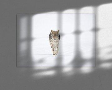 Kojote ( Canis latrans ), läuft geradewegs auf den Fotografen zu, wildlife, Yellowstone, USA. von wunderbare Erde