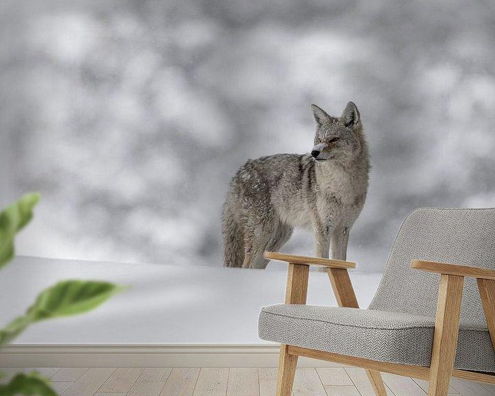 Beispiel fototapete: Kojote ( Canis latrans ), in tief verschneitem, natürlichen Umfeld, wildlife, Yellowstone, USA. von wunderbare Erde