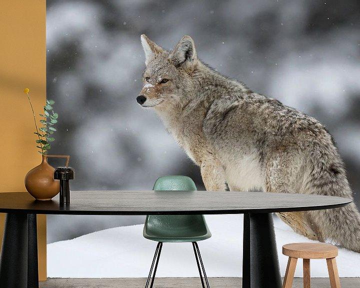 Beispiel fototapete: Coyote ( Canis latrans ) im Winter auf Schneehügel, schaut sich um, wildlife, Yellowstone NP, USA. von wunderbare Erde