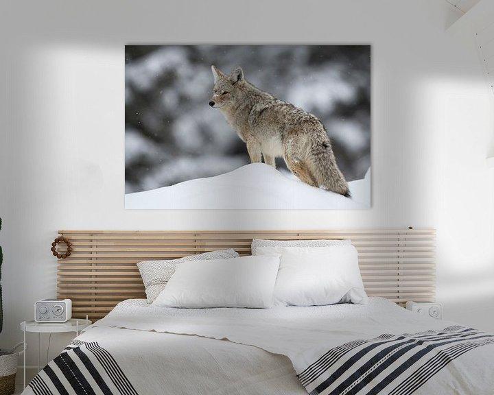Beispiel: Coyote ( Canis latrans ) im Winter auf Schneehügel, schaut sich um, wildlife, Yellowstone NP, USA. von wunderbare Erde