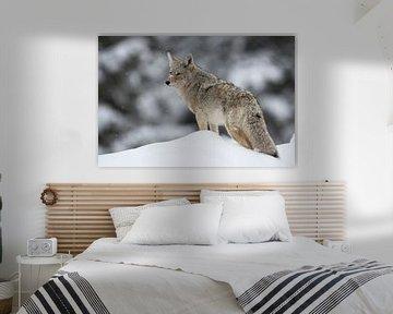 Coyote ( Canis latrans ) im Winter auf Schneehügel, schaut sich um, wildlife, Yellowstone NP, USA. von wunderbare Erde