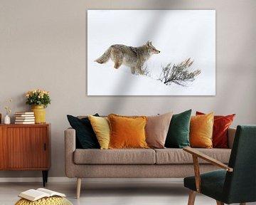 Kojote ( Canis latrans ) im Winter auf der Jagd bei hohem Schnee , wildlife, Yellowstone NP, USA. von wunderbare Erde