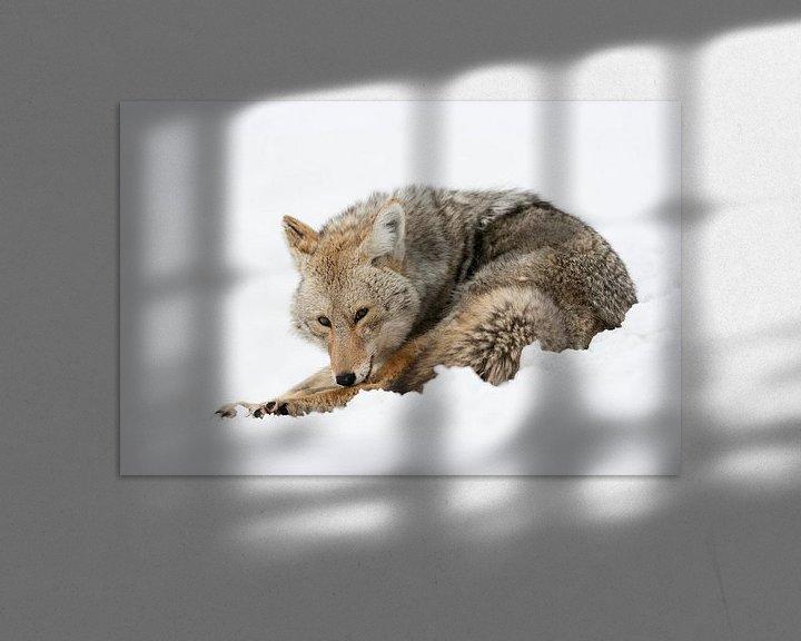 Beispiel: Kojote ( Canis latrans ) im Winter bei der Fell- und Körperpflege, Yellowstone NP, Wyoming, USA. von wunderbare Erde