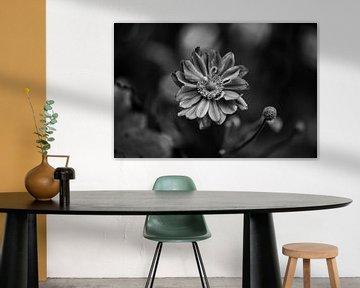 Herbstanemone schwarz-weiß von Tania Perneel