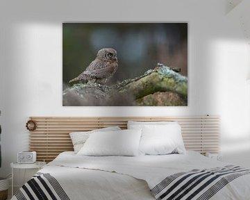 Pygmeeëneeuwuil ( Otus scops ), een van de kleinste uilen van Europa. van wunderbare Erde