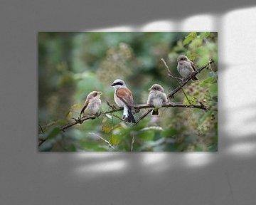 Neuntöter ( Lanius collurio ), Familienleben, Männchen mit drei Jungvögeln in einer Brombeerhecke, w von wunderbare Erde