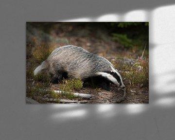 Dachs ( Meles meles ) sucht mit der Nase am Boden im Wald nach Nahrung, Europa. von wunderbare Erde