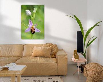 Bienen-Ragwurz ( Ophrys apifera ), wilde Orchidee, Blütenstand, wildwachsend, wildlife, Europe. von wunderbare Erde