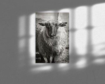 Porträt eines Schafes auf Sylt von Max Huppertz