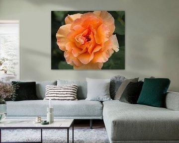 Oranje roos von José Verstegen