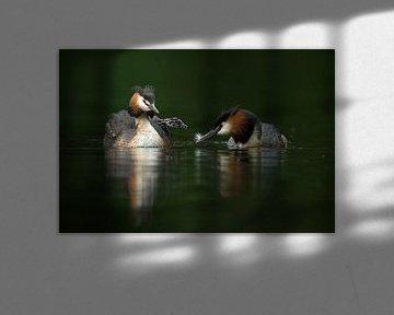 Haubentaucher ( Podiceps cristatus ), Altvögel füttern Nachwuchs mit Federn, Familienleben, wildlife von wunderbare Erde