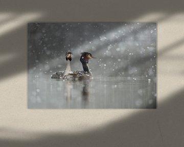 Fuut (Podiceps cristatus) in de winter, met sneeuwval, wilde dieren, Europa. van wunderbare Erde