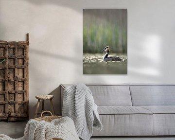 Haubentaucher ( Podiceps cristatus ) auf einem natürlichen Gewässer in frühem Morgenlicht, wildlife, von wunderbare Erde