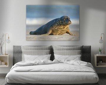 Kegelrobbe ( Halichoerus grypus ), Bulle robbt an der Nordsee über den Strand der Helgoländer Düne,  von wunderbare Erde