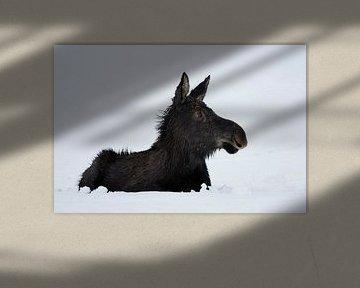 Elch ( Alces alces ), Jungtier im ersten Winter, liegt im Schnee, lustiger, aufmerksamer Blick,  Yel von wunderbare Erde