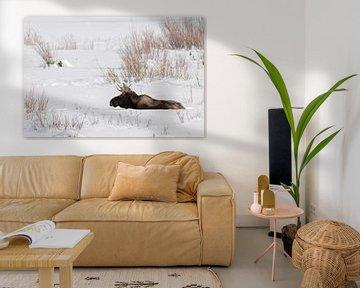 Elch ( Alces alces ), junger Elchbulle im Winter, ruht in natürlicher Umgebung im Schnee, Yellowston von wunderbare Erde
