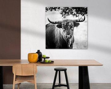 Schotse hooglander van Jeroen Mondria