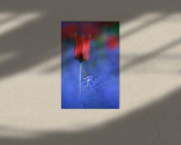 Rood - Blauw Tulp Studie von Istvan Nagy
