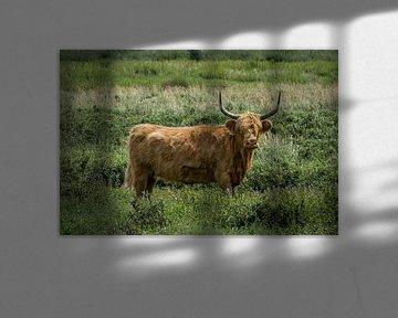 Schotse Hooglander in het veld van Patrick Verhoef
