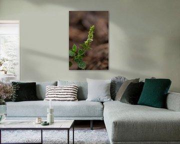Pfefferminzblüte von Laurenz Heymann