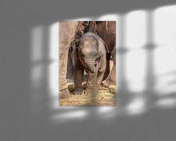 Junger Elefant unter den Pfoten der Elefantenmutter von Marcel Derweduwen
