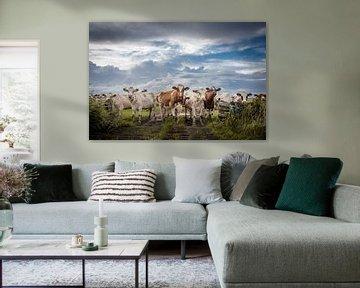 Des vaches curieuses sur Jaap Terpstra
