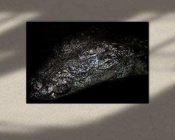 Das Porträt eines Krokodils von Steven Dijkshoorn