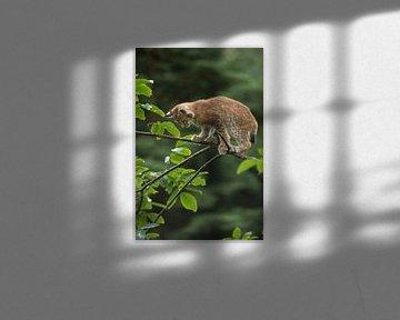Luchs ( Lynx lynx ), junger Luchs klettert im Baum, sucht Halt auf einem dünnen Ast. von wunderbare Erde