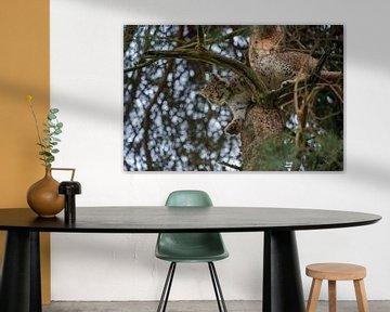 Euraziatische lynx ( Lynx lynx ) rust hoog in een boom, kijkt naar beneden, perfect gecamoufleerd, E van wunderbare Erde