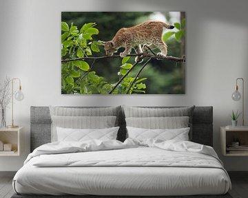 Lynx ( Lynx lynx ), jonge kat, balancerend op fluwelen poten over een tak, Europa. van wunderbare Erde