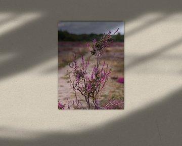 Heidepflanze auf der Heide des Maashorst von Moniek van Rijbroek