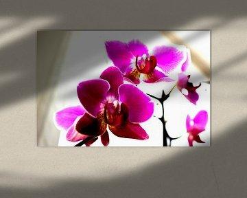 Orchideae von Francisco de Almeida