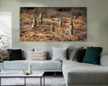 Stokstaartjes in Oudtshoorn (Zuid-Afrika). van Claudio Duarte