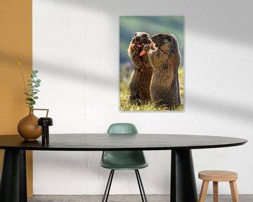 Marmottes des Alpes sur Achim Thomae