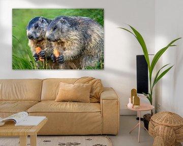 Marmotte des Alpes sur Achim Thomae