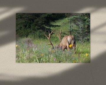 Hirsche in Kanada von Joost Winkens