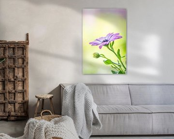 Stilleben eines spanischen Gänseblümchens und weiches Bokeh von John van de Gazelle