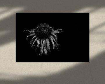 """Echinacea von ZEVNOV ."