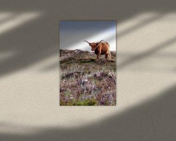 Schotse Hooglander van Kevin van den Hoven