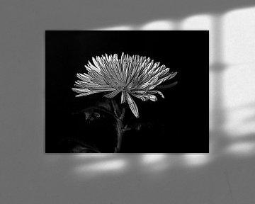 Chrysantheme in schwarz-weiß. von Jose Lok