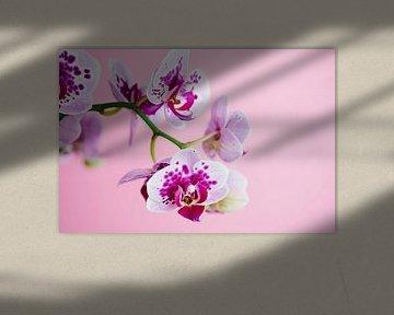 Orchidee vor pinkem Hintergrund von C. Nass